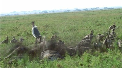 Medium wide angle frenzy of vultures swarming and scavenging over zebra carcass in green grass with marabou stork -matches RK 10073