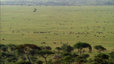 Big wide angle looking down on herds of wildebeest grazing and moving over grasslands