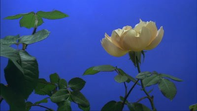 Close up side view single yellow rose bud -Comtes de Champagne- opens to full bloom with blue background