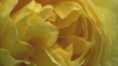 Big close up top shot single yellow rose bloom -Charles Darwin- continues to open to full bloom