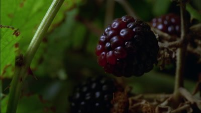 Big close up single blackberry ripens from red to black with more berries and green foliage behind