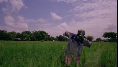 Medium wide angle scarecrow in rice field with rice growing and village and stormy clouds racing overhead towards camera