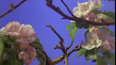 Close up group of three heads of apple blossom buds bursting into bloom against bluescreen