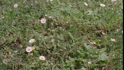 Close up track out over cut green lawn as daisies begin to pop up and flower