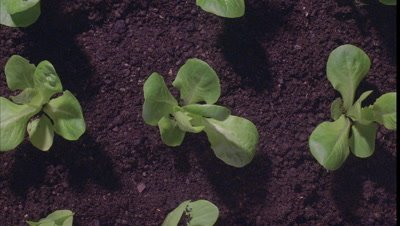 Close up small lettuce seedlings surrounded by soil grow up to cover soil and fill frame with leaves before wilting