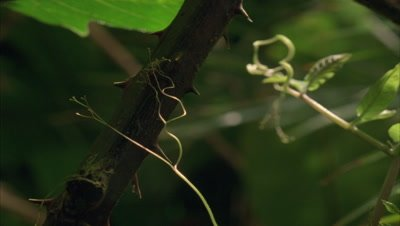 Close up passiflora tendrils grasping thorny branch in centre frame followed by curling tendrils against green tropical foliage