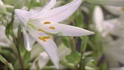 Close up three quarter side view of Lilium Candidum flower opening to full flower in centre of frame with more lilies behind