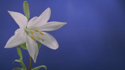 Close up Lilium Candidum bud opens to full flower followed by another bloom behind against blue screen