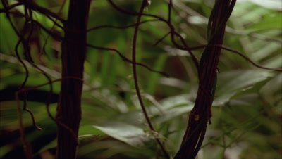 Close up rainforest undergrowth with thick dark vines and palm fronds and energetic passiflora vines striking upwards behind