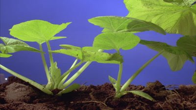 Close up pan right along row of pumpkin or squash - Curcubita - at soil level as leaves grow upwards against bluescreen