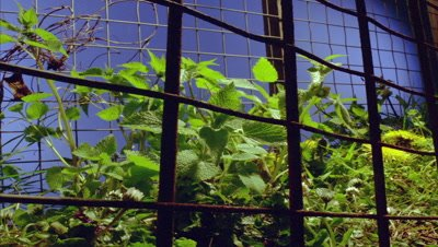 Mid shot low angle rusty metal fence with British hedgerow weeds growing up through against bluescreen