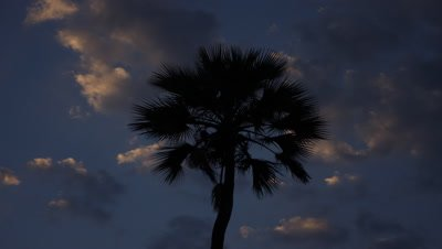 Mid shot looking up to palm tree silhouetted against dark blue early evening sky with scudding fluffy white clouds