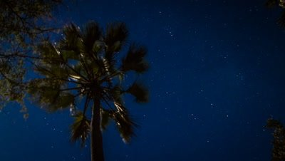 Medium shot of Ilala Palm tree with star scape behind it, Okavango Delta, Botswana