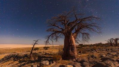 Baobab, moon set, night sky