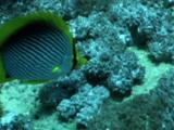 Black-Back Butterflyfish Swims Around Reef