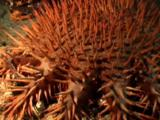 Crown-Of-Thorns Sea Star Close Up