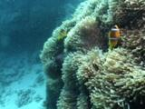 Gigantic Anemone With Clownfish