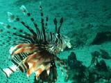 Red Sea Firefish
