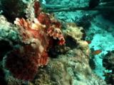 Stonefish Or Scorpionfish Camouflaged On Reef