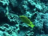 Yellow Fish Swims Around Reef
