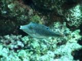 Sharpnose Puffer Swims Around Reef