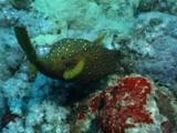 Boxfish Swims Around Reef
