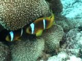 Anemonefish In Host