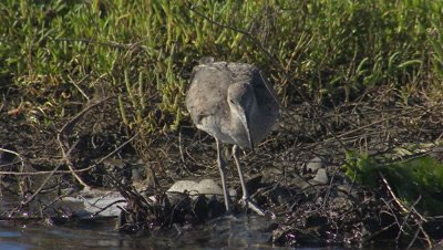Willet foraging-wading on wetland shallow water