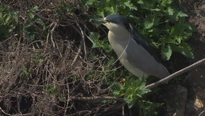 Black-crowned night heron standing walking on cliff vegetation