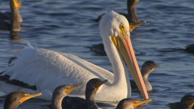 American white pelican swimming with double crested cormorants on wetland habitat
