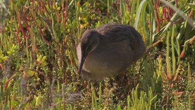 clapper rail foraging-hunting on wetland vegetation