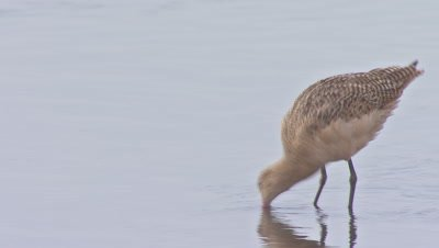 Long-billed curlew foraging-wading on shallow wetland
