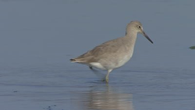 Willet foraging-wading on shallow wetland