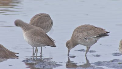 Willets preening-standing on shallow wetland