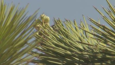 Cactus wren foraging Joshua Tree