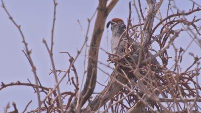 Gambel's quail standing-waiting in CA desert habitat