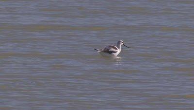 American avocet foraging-wading in shallow lake