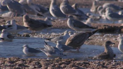 Bonaparte gulls foraging-wading in shallow lake
