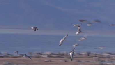 Herring gulls flocking-foraging-wading in shallow lake with nat sound