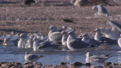 Herring gulls foraging-wading in shallow lake