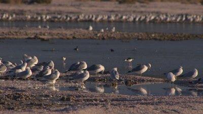 Herring gulls foraging-wading in shallow lake