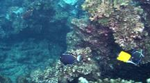 Surgeonfish, White Cheek Or Gold Rimmed