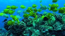 Yellow Tangs And Convict Surgeonfish In A Mixed School