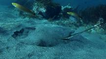 Bat Ray On Sand, Feeding