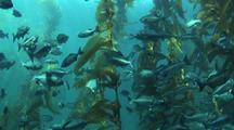 Kelp Forest With Blue Perch School