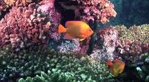 Clarion Anglefish Over Coral Reef