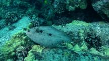 Peacock Flounder On Coral Reef