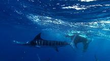 Marlin And Sea Lion Feeding Frenzy As Eat Last 12 Sardines In Baitball