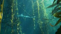 Leopard Shark Swims Through Kelp Forest With Shafts Of Light Playing On Its Body