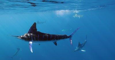 Multiple striped marlin attack sardine
